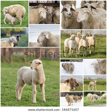 Collage of  Wuerttemberg sheep farming and breeding industry - stock photo