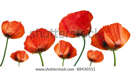 Collage. Red poppies after a rain, it is isolated on white - stock photo