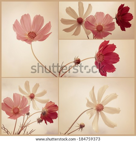 Collage. Vintage Cosmos flowers. Art floral background with paper texture overlay. Retro style. - stock photo