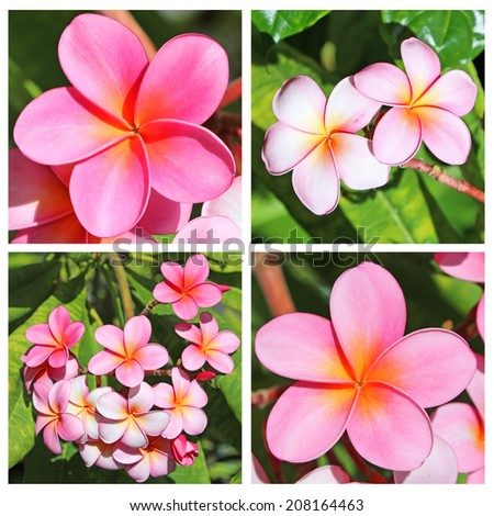 Collage with plumeria flowers, Hawaii - stock photo