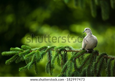 Collared dove, (Streptopelia decaocto) on a branch - stock photo