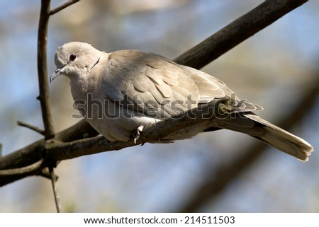 Collared Dove that sits on a branch on a sunny afternoon - stock photo