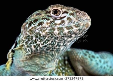 Collared lizard (Crotaphytus collaris) - stock photo