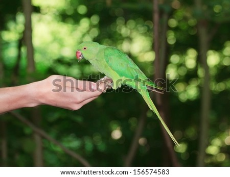 Collared parakeet put on a hand, eating seeds (France)  - stock photo
