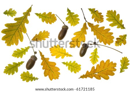collection autumn leaves of oak - stock photo