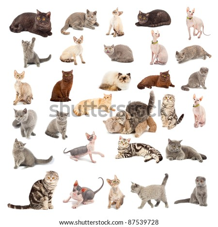 Collection of a cats in different poses and different species isolated over white background - stock photo