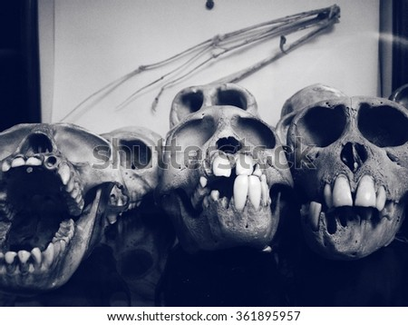 Collection of ape skulls in a university collection - stock photo