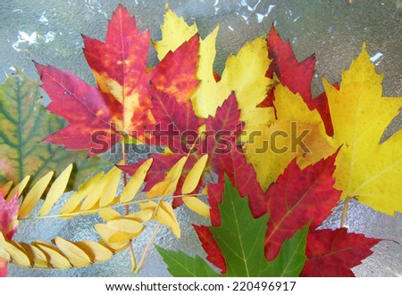 Collection of autumn leaves including red and yellow maple on a glass table - stock photo