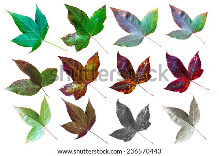 collection of autumn maple leaf isolated on white background with clipping path - stock photo