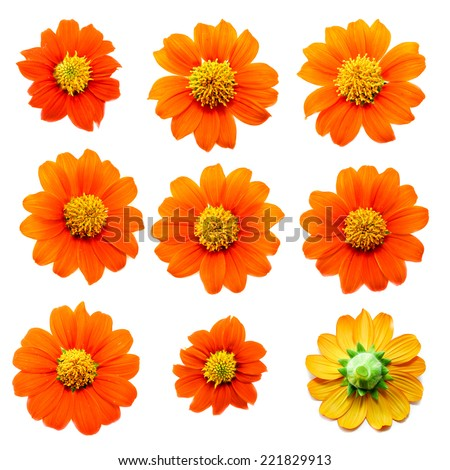 Collection of Flower on white background ,Tithonia rotundifolia ( Mexican sunflower) - stock photo
