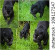 Collection of images of Black Leopard Panthera Pardus in captivity - stock photo