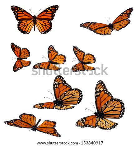Collection of monarch butterflies - stock photo