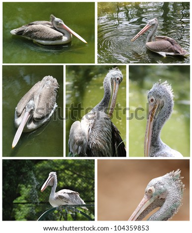 Collection of pelican images in various active roles from relaxed swimming to fishing to watching - stock photo
