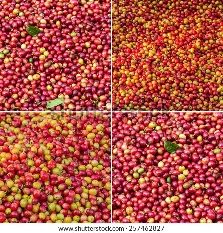 Collection of red Arabica coffee berries background - stock photo