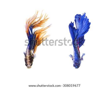 Collection of Siamese fighting fish, betta splendens, Crown Tail Betta, Double Half Moon Betta isolated on white background - stock photo