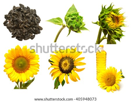 Collection of sunflower isolated on white background. Stages of growth of sunflower. Seeds, sunflower closed. Blooming sunflowers - stock photo