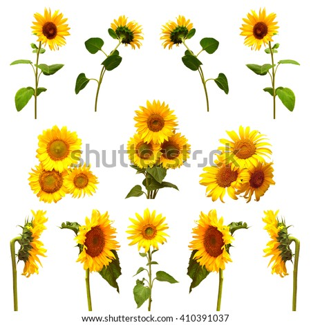 Collection of sunflowers isolated on white background. Flowers sunflowers - stock photo