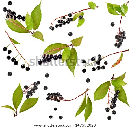 Collection set of bird cherry branch with berries isolated on a white background - stock photo