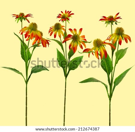 Collection set of colored Echinacea  daisy Flower isolated on yellow Background - stock photo