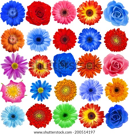 Collection set of 25 Colorful Flower heads close up isolated on white background - stock photo