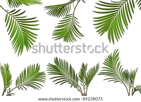 Collection set of leaves of palm tree close up isolated on white background - stock photo