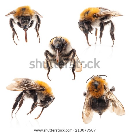 Collections of Bumblebee isolated on white background - stock photo