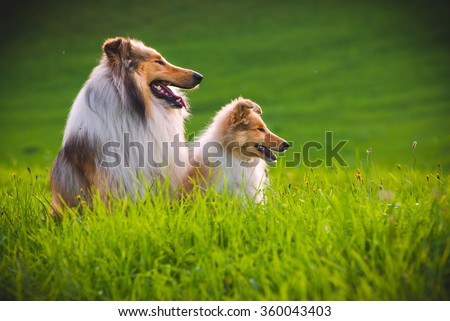 Collie and a Collie Puppy The collie is a distinctive type of herding dog, including many related landraces and formal breeds. The breed originated in Scotland and Northern England - stock photo