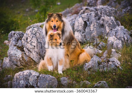 Collie dog and a puppy The collie is a distinctive type of herding dog, including many related landraces and formal breeds. The breed originated in Scotland and Northern England - stock photo