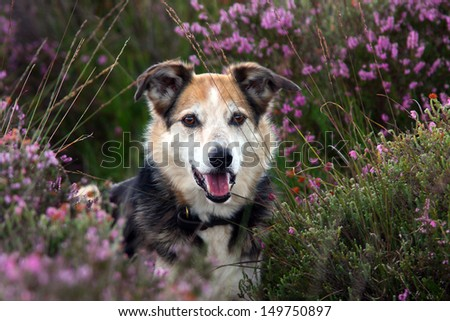 Collie dog in the New Forest UK, amongst the heathers - stock photo