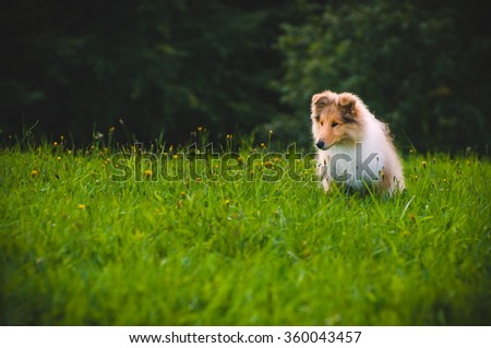Collie Dog Puppy The collie is a distinctive type of herding dog, including many related landraces and formal breeds. The breed originated in Scotland and Northern England - stock photo