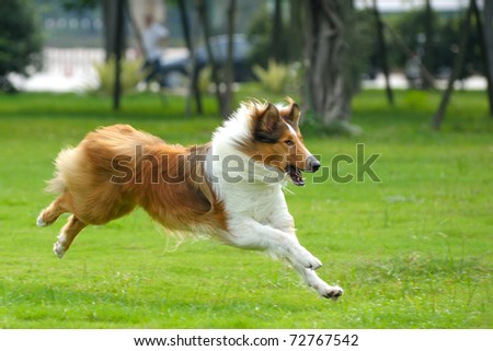 Collie dog running on the lawn - stock photo