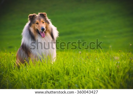 Collie Dog  The collie is a distinctive type of herding dog, including many related landraces and formal breeds. The breed originated in Scotland and Northern England - stock photo