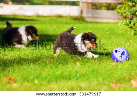 Collie puppies playing with a toy in the garden - stock photo