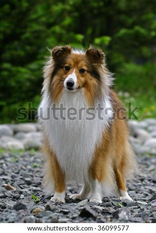 Collie puppy - stock photo