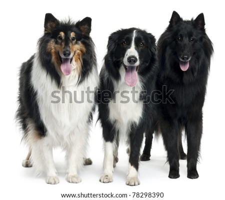 Collies standing in front of white background - stock photo