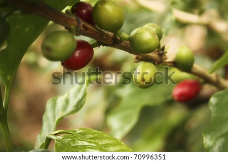 Colombian coffee plantation in the Andean valleys. Quimbaya, Quindio, Colombia. Triangle coffee. Zone of high quality coffee. coffe, cofe, coffee, cofee, bean, plantation, plant, colombian. - stock photo