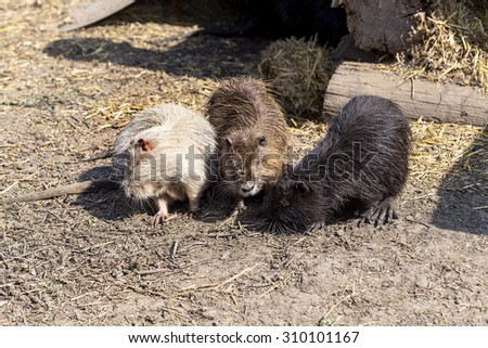Colonia colored nutria farm. Nutria - a valuable agricultural industry for animal fur and meat growing - stock photo