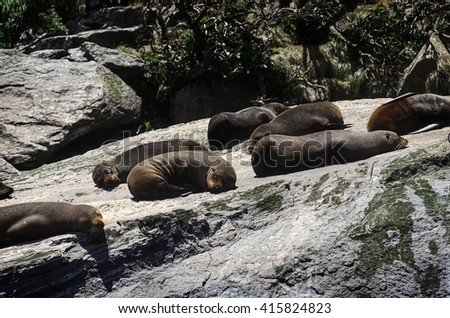 Colony of Brown fur seals basks on a large rock. Milford Sound, South Island, New Zealand - stock photo