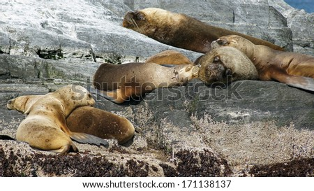 Colony of Patagonian Sea Lions, Beagle Channel, Patagonia, Argentina, South America - stock photo