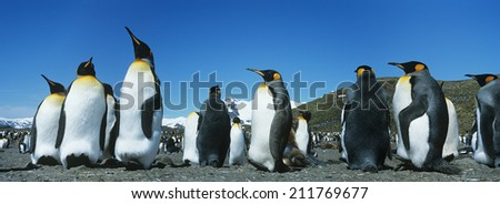 Colony of Penguins - stock photo