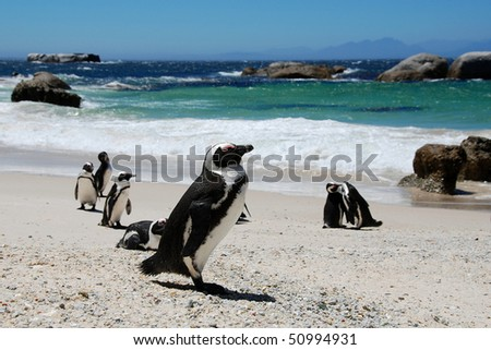 colony of penguins,South Africa - stock photo