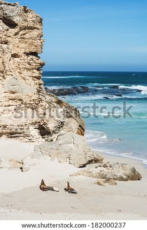 colony of  sea lions at Seal Bay, Kangaroo Island, South Australia  - stock photo