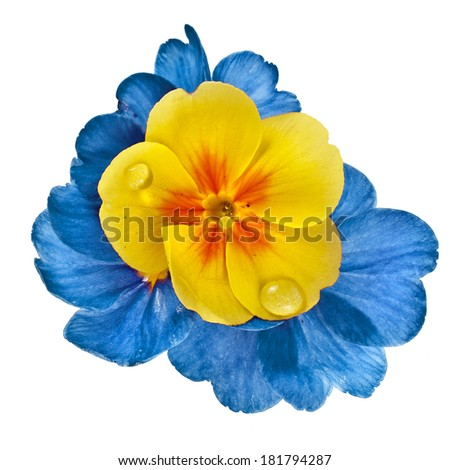 Color blooming primrose primula polyanthus isolated on white - stock photo