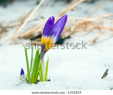 Color DSLR picture of purple, yellow and green crocus in the winter - spring snow.  The flower is a symbol of rebirth and the Christian holiday Easter.  Narrow depth of field and copy space for text - stock photo