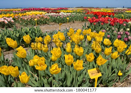 Color flower fields in Holland in the spring - stock photo
