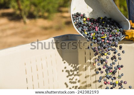 Color freeze action shot of multi colored olives being poured out of a bucket in to a large container at an olive harvest in Paso Robles, California - stock photo