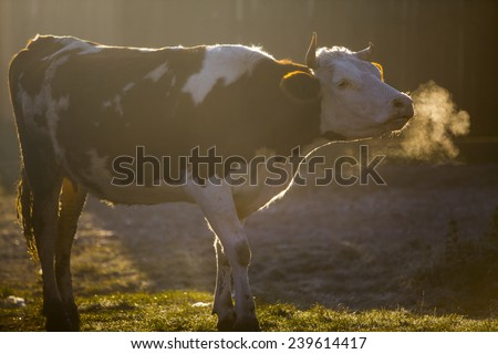 Color horizontal shot of a cow at sunrise. - stock photo