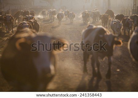 Color horizontal shot of some cows on a village road, at sunrise. - stock photo