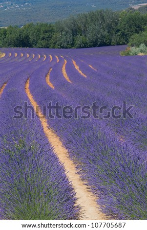 Color lavender field. Natural and herbal landscape in Provence, France. Vertically. - stock photo