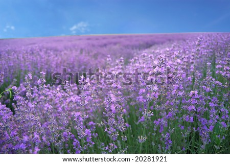 Color lavender field. Natural  and  herbal summer landscape - stock photo